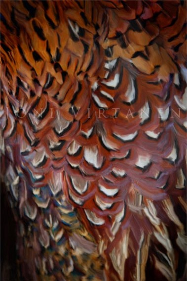 Phasianus colchicus - Fasaani